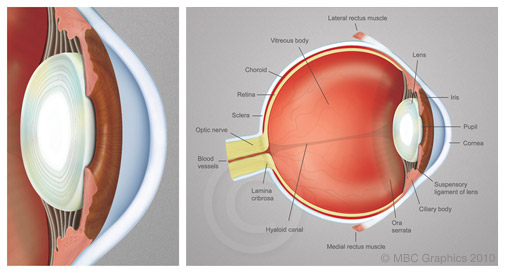 Illustration of the Anatomy of the Human Eye