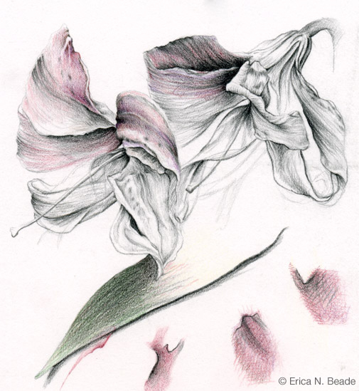 Drawing Study of Lilies